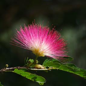 Pom pom red by Carolyn Lawson - Flowers Single Flower (  )