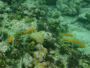 Photo: Parupeneus cyclostoma (Yellow Goatfish), Siquijor Island, Philippines