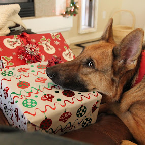 Can I Open Just One??? by Liesl Ross Photos - Animals - Dogs Portraits ( obedient, cute, anticipation, german shepard, presents )