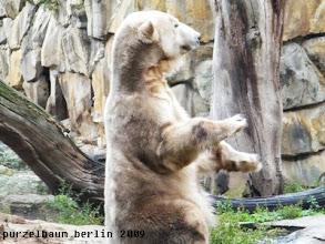 Photo: Imponierbaerchen Knut :-)