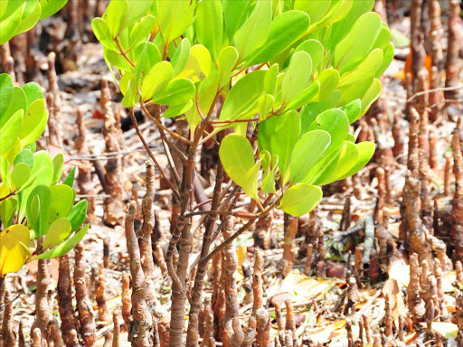 The mangrove growing at the seashore of the Indian Ocean.