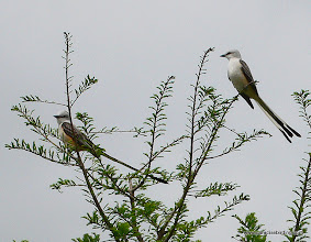 Photo: Scissor-tailed Flycatchers, upper Texas Coast