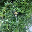 Gardenweb Spider