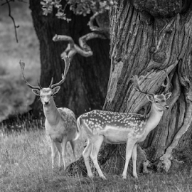 Fallow by Garry Chisholm - Black & White Animals ( deer, fallow, nature, mammal, wildlife, garry chisholm )