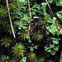 Bog Haircap Moss