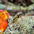 Western yellowjacket infected with fungus