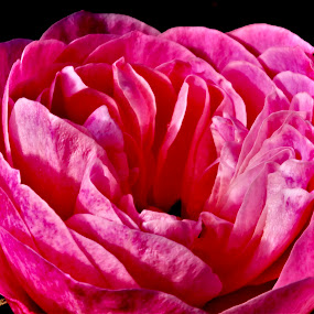 Rose by Richard Lawes - Novices Only Flowers & Plants