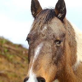 Alezan n00002 by Gérard CHATENET - Animals Horses