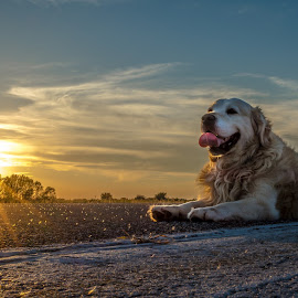 My dog by Vedran Vugrinec - Animals - Dogs Portraits ( animals, dogs, sunset, dog, portrait, animal,  )