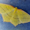 Sulphur Swallowtail Geometer