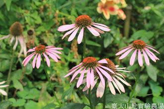Photo: 拍攝地點: 梅峰-溫帶花卉區 拍攝植物: 紫錐花 拍攝日期: 2015_10_05_FY