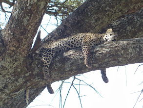 Photo: The cub is plain tuckered out!