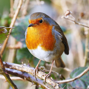 Song Bird by Scott Williams-Collier - Animals Birds