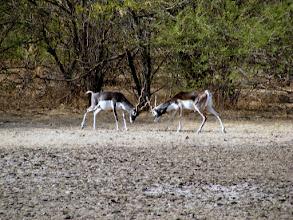 Photo: Black Buck squaring up at Velavadar Park in Gujarat