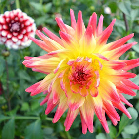 Dahlias rhs Hyde hall by Mike Tricker - Flowers Flower Gardens ( flower flowers rhs hyde hall dahlias blooms,  )
