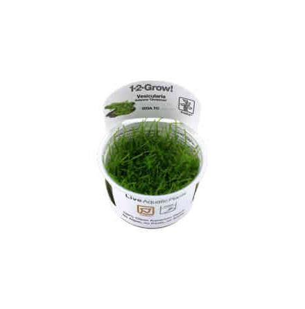 Vesicularia Dubyana Christmas 1-2 Grow