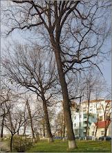 Photo: Fag (Fagus sylvatica)  - din Turda, Parcul Central - 2019.04.02