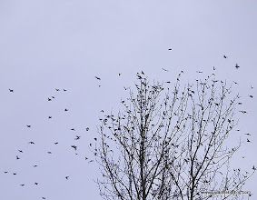 Photo: Swarm of Bohemian Waxwings over suburban Anchorage; they tallied 18,000 in their local Christmas Bird Count!