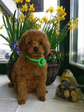 Photo: Huckleberry Finn vom Ronthaler Gütl - Zwergpudelwelpen 7 Wochen alt
