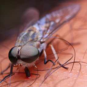 by Ady Putra - Animals Insects & Spiders ( house fly, insects, fly,  )