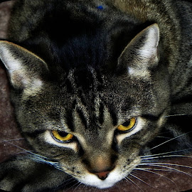by Dawn Marie - Animals - Cats Portraits ( cat, claws, stripes, tail, eyes, family, pet, amber, companion, whiskers, paws, feline, tabby, animal,  )