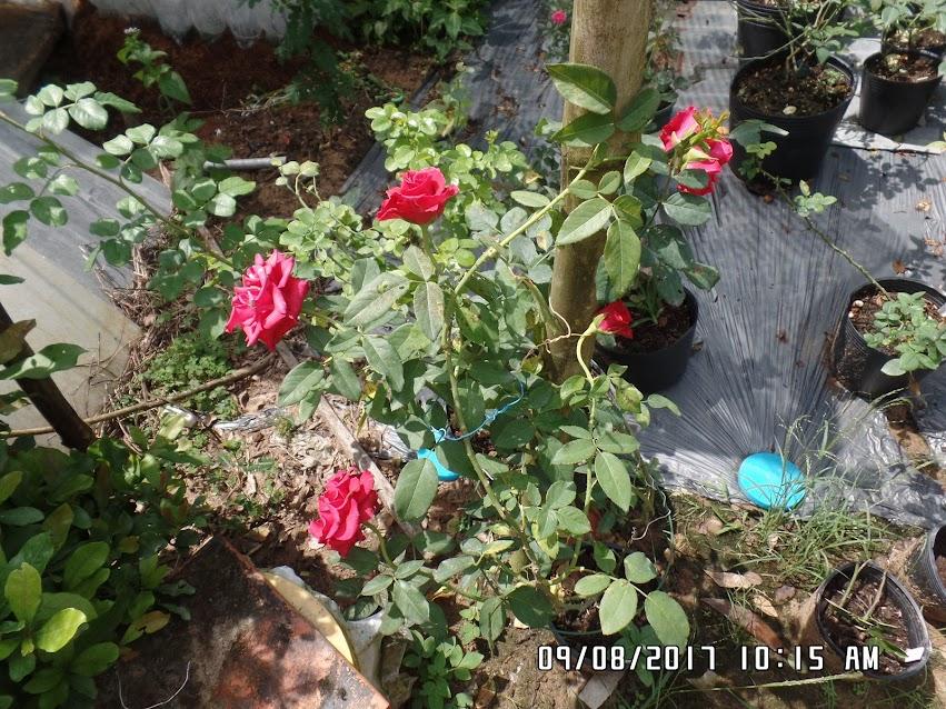 Sau 1 tuần thì cây hồng nhung Đà Lạt vẫn chưa tàn hoa