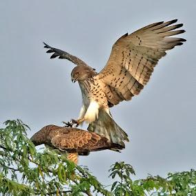 SHORT TOED EAGLE by Subramanniyan Mani - Animals Birds ( concentration, sex, acrobat, pleasure, short toed eagle, mating, raptors )