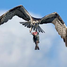 In Flight meal by John Kellaway - Animals Birds ( action, power, raptor, birds, osprey )