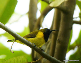 Photo: Olive-backed Sunbird, ornatus subspecies; Sepilok