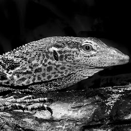 Varan de Mac Rae by Gérard CHATENET - Black & White Animals