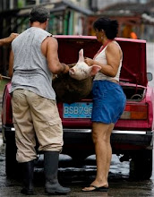 Photo: Residents load a pig into a car as Hurricane Gustav approaches in Batabano, Cuba, Saturday, Aug. 30, 2008. Gustav swelled to an increasingly fearsome Category 3 hurricane with winds of 125 mph (205 kph) as it shrieked toward the heartland of Cuba's cigar industry Saturday on a track to hit the U.S. Gulf Coast, three years after Hurricane Katrina.(AP Photo/Javier Galeano)