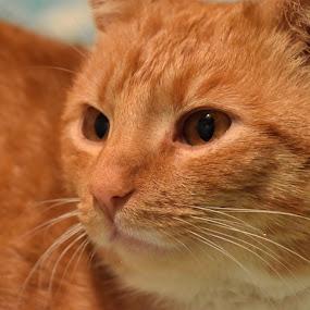 Orange Gaze by Nicol Sara - Animals - Cats Portraits ( orange, dreamy, cat, gaze, fur, eyes )