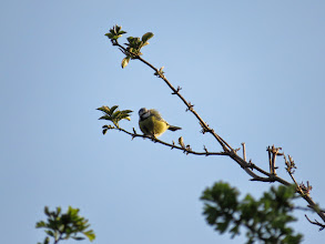 Photo: Priorslee Lake This Blue Tit seems to have had a back massage! (Ed Wilson)