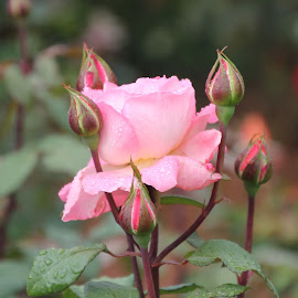 Rose by Ponprasath Vairavanathan - Flowers Flower Gardens