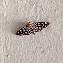 Brown moth with white spots