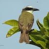 Boat-billed flycatcher (Bienteveo pitanguá)