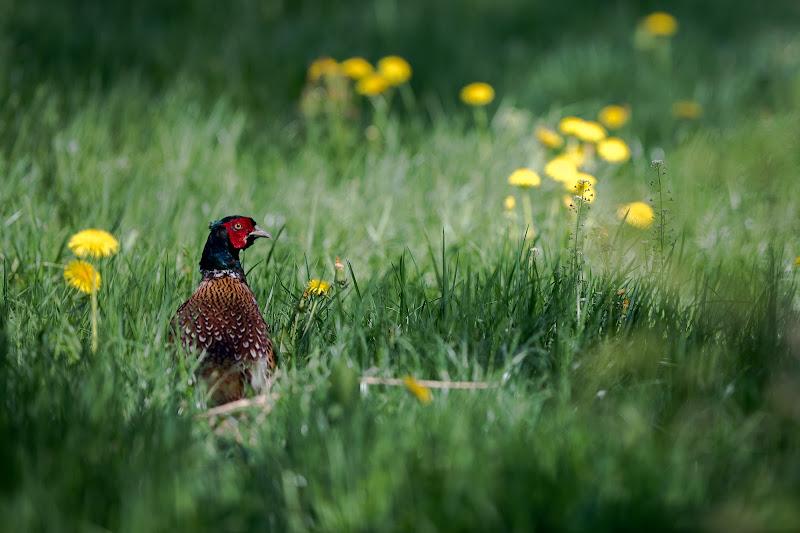 Pheasant di thomas_gutschi