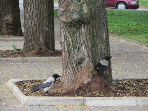Photo: Latvian crows. They are significantly bigger than ours