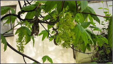 Photo: Arțar, Paltin de munte - (Acer pseudoplatanus) - de pe Str Narciselor - 2017.04.22