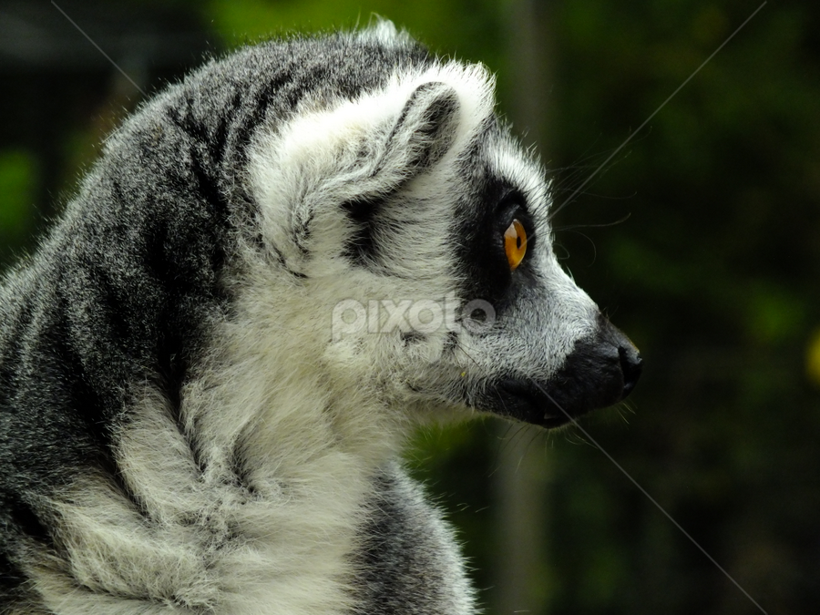 Ring Tailed Lemur by Neil Torr - Animals Other Mammals ( ring tailed lemur, whipsnade zoo, fur, lemur, eyes )