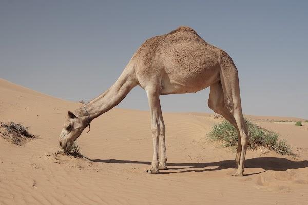 Kamel am Rand der Wahiba Wüste