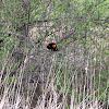 Red-winged blackbird (♂)