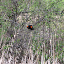 Red-winged blackbird (♂)