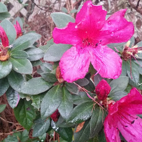 This azalea is actually a deep burgundy. The pictures all came out lighter and brighter than they are. They are lower hedges than the other azaleas and were all placed in the more shady parts of the yard. by Leah Bittner - Uncategorized All Uncategorized