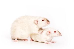 souris obèses