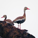 Piche (Black-beilled whistling duck)