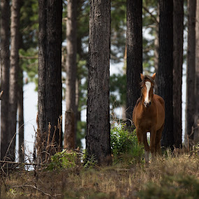 Wild one by Dawie Nolte - Animals Horses ( wild horse, brown horse, horse, plantation horse, trees,  )