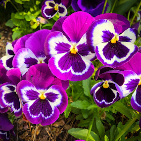 Pansies #1 by Mary Phelps - Flowers Flower Gardens ( spring, pansies, tennessee, nashville, purple, pansy, flower,  )