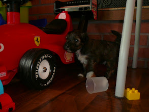 "Photo: Bantam Shepherd´s Robbie W 5 weeks: ""I also want to have an own Ferrari!"""