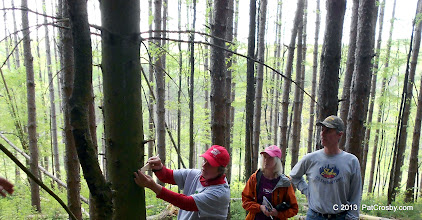 Photo: Measureing a tree for lumber value - demonstration